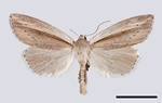 Mythimna flammea